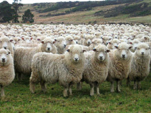 sheep_herd_looking_at_camer