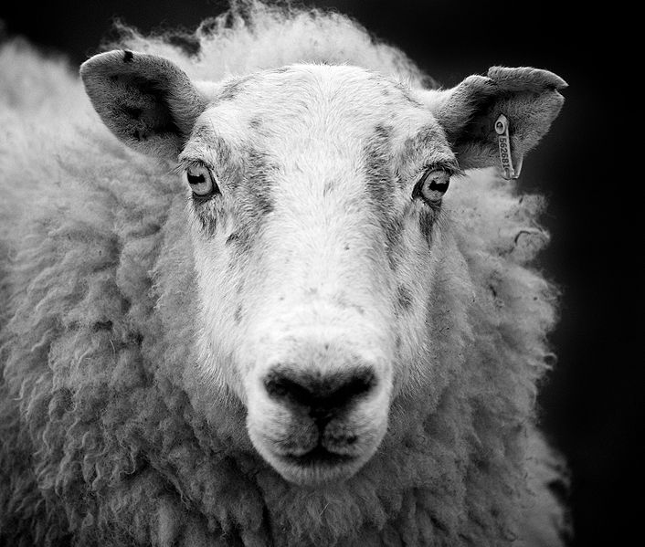 706px Ewe sheep black and white His cruelty extended to laughing at one victim he coerced into having sex ...