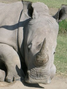 Rhino photo by Angela Sevin