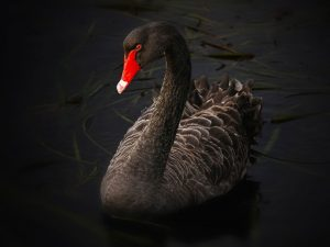 Black Swans Trump