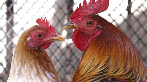 Chicken rooster hen